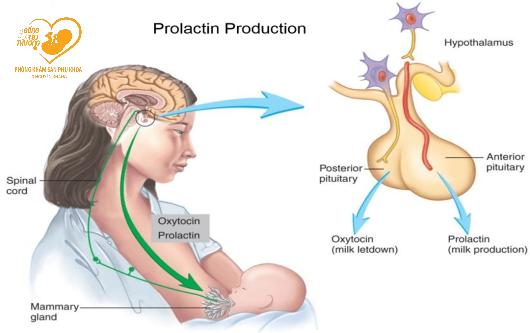 hormone Prolactin và sự tiết sữa